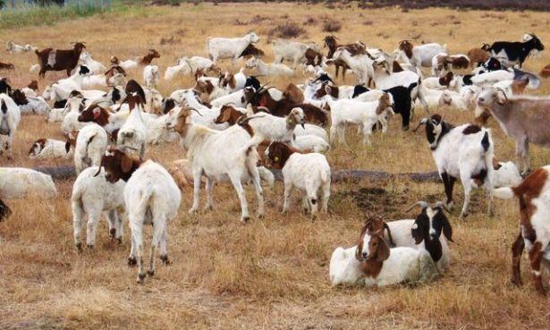 rents goats